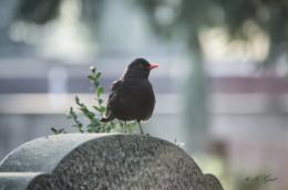 johannesfriedhof-meißen-cölln-amsel