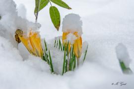 Krokusse im Schnee am Hainweg