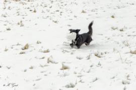 Shiba im Schnee