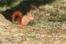 eichhörnchen-großer-garten-dresden