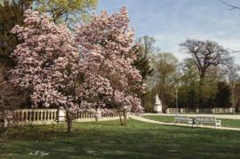frühling-im-großen-garten-dresden-magnolie
