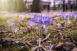 Krokuswiesen im Großen Garten Dresden
