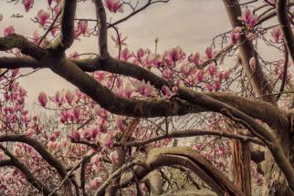 Magnolienbaum im Frühling